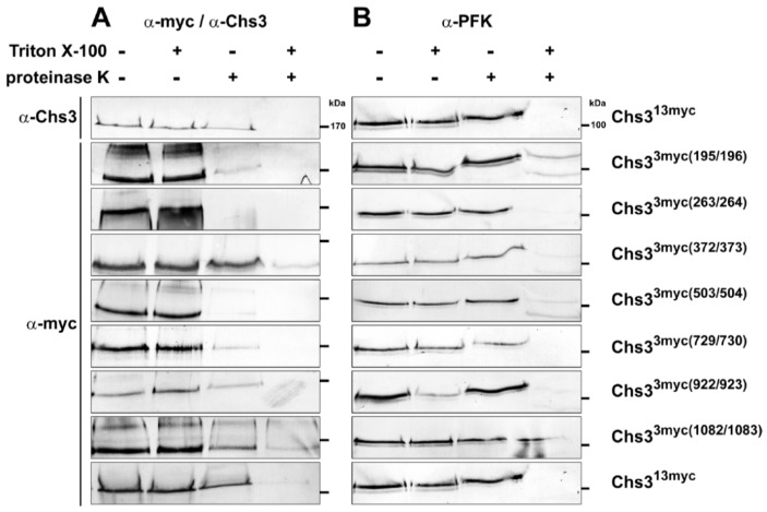 Topology determination of Chs3 using Proteinase K experiments with different myc-epitope tagged versions of Chs3. Cells expressing Chs3 13myc or different Chs3 3myc versions were converted into spheroplasts and treated with or without proteinase K in the presence or absence of Triton X-100. TCA precipitated proteins were solubilized and analyzed by sodium dodecyl sulfate polyacrylamide electrophoresis (SDS-PAGE) and Western blots using either: α-Chs3 or α-myc ( A ); and α-phosphofructokinase (PFK) ( B ) for immunostaining. Detection of PFK serves as a control for the integrity of the spheroplasts. Standard proteins are indicated with molecular masses given in kDa.