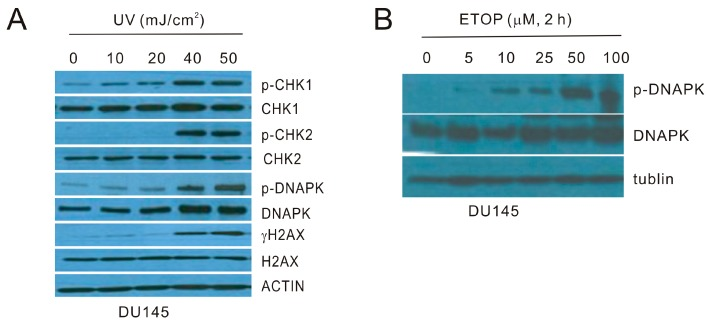 Characterization of ultraviolet (UV) and etoposide (ETOP) induced DNA damage response (DDR). ( A ) DU145 cells were treated with UV at the indicated energy levels and cultured for 6 h. Western blot was performed for the indicated proteins. p-DNAPK: phosphorylation of DNAPK at serine 2056 (S2056); p-CHK1: phosphorylation of CHK1 at S345; p-CHK2: phosphorylation of CHK2 at threonine 68 (T68); ( B ) DU145 cells were treated with ETOP for 2 h at the indicated doses, followed by Western blot examination for the indicated proteins. All experiments were repeated once; typical images from a single repeat are shown.