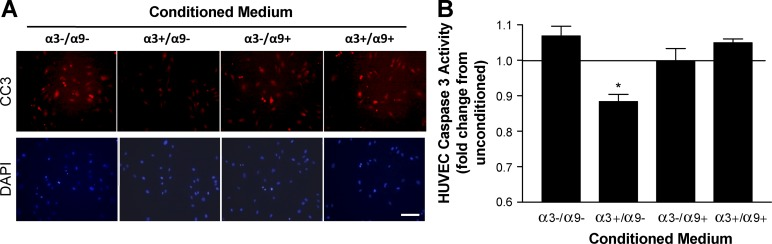 α9β1 inhibits the α3β1-dependent secretion of keratinocyte factors that suppress endothelial cell apoptosis. (A and B) HUVEC apoptosis was measured in response to conditioned media from MK cells that express α3β1 and/or α9β1 in various combinations as indicated. (A, top) Apoptotic cells were detected by immunostaining with an antibody against cleaved <t>caspase</t> 3 (CC3). Bottom, DAPI staining of nuclei. Bar, 100 µm. (B) Graph showing relative caspase 3 activity in HUVECs (EnzChek assay) normalized to the daily mean to account for variability by day. Means ± SEM are shown. n = 3 independent experiments. A one-way analysis of variance with Newman-Keuls's multiple comparisons test was used. *, P