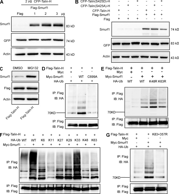 Smurf1 has no effect on Talin-H degradation. (A) CFP-Talin-H plasmid (2 µg) was transfected into HEK293T cells together with increasing amounts of Smurf1 expression vector. Talin-H expression was determined by immunoblotting with an anti-GFP antibody 24 h after transfection. (B) Flag-Smurf1 was transfected into HEK293T cells together with Talin-H or mutants of Talin-H, and Talin-H expression was examined. (C) HEK293T cells transfected with Flag-Talin-H were treated with proteasome inhibitor MG132 (20 µM) or DMSO for 6 h, and Smurf1 and Flag-Talin-H protein expression were detected. (D) Flag-Talin-H and HA-Ub plasmids were cotransfected into HEK293T cells together with control vector, Myc-Smurf1 (WT), or Myc-Smurf1 (C699A) expression plasmid. Talin-H ubiquitination was detected by immunoprecipitation with anti-Flag M2 beads and immunoblotting with anti-HA antibody. (E) HEK293T cells were transfected with Flag-Talin-H, Myc-Smurf1, and K48R or K63R Ub mutant plasmids, and after 24 h, an in vivo ubiquitination assay was performed. (F) HEK293T cells were transfected with Flag-Talin-H, Myc-Smurf1, and different linkage Ub plasmids, and after 24 h, an in vivo ubiquitination assay was performed. (G) HEK293T cells were transfected with HA-Ub, Myc-Smurf1, and Flag-Talin-H K83+357 mutant plasmid, and then an in vivo ubiquitination assay was performed.
