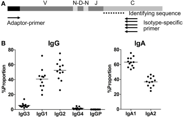 (A) Adaptor-ligation PCR for next-generation sequencing-based antibody repertoire analysis. A universal primer specific for the isotype constant region (isotype-specific primer) and an adaptor primer were used for unbiased amplification of antibody genes. IgM-, IgD-, IgG-, IgA-, and IgE-specific primers were used for amplification of respective isotype genes. Amplified gene products were sequenced using an <t>Illumina</t> <t>MiSeq</t> sequencer, and each sequence read was classified into immunoglobulin subclasses by discrimination using the identifying sequence of the constant region. (B) Proportions of IgG and IgA subclasses in healthy individuals. Proportions of sequence reads of IgG subclasses (IgG3, IgG1, IgG2, IgG4, and IgGP) and IgA subclasses (IgA1 and IgA2) are indicated. Total sequence reads excluding unproductive reads (out-of-frame reads) were used for calculation. Each dot represents an individual and bars indicate mean frequencies ( n = 12).