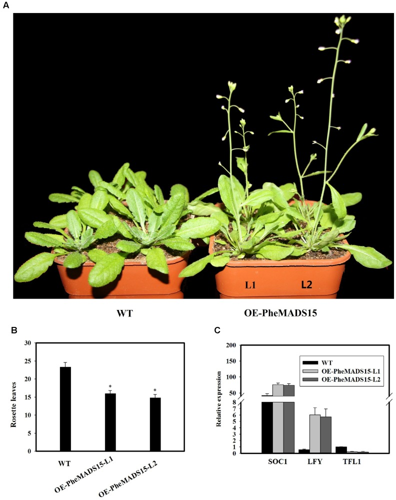Analysis of an early flowering phenotype by overexpression of PheMADS15 in Arabidopsis . (A) The flowering phenotype of wild-type (WT), OEPheMADS15-L1 and OEPheMADS15-L2 grown for 4 weeks at 23°C under long-day conditions. (B) Flowering time scored as the number of rosette leaves at flowering of wild-type and transgenic plants at 23°C under long-day conditions. (C) Transcript levels of SOC1 , LFY , and TFL1 in wild-type and transgenic plants (L1 and L2) were evaluated by qPCR. Arabidopsis β-tubulin expression was used as a control. Total RNA from 5-week-old whole- Arabidopsis tissues, including leaves and shoot apex, were used for PheMADS15 , SOC1 , LFY , and TFL1 examination. Error bars indicate standard deviations. Asterisks indicate a statistically significant difference between wild-type and transgenic plants ( P