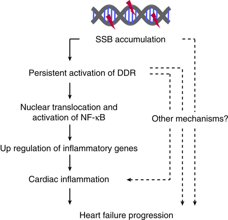 Possible roles of SSB accumulation in pathogenesis of heart failure. Accumulation of DNA SSB in cardiomyocytes induces persistent activation of DDR and subsequent activation of NF-κB pathway, resulting in increased expressions of inflammatory cytokines. These mechanisms may contribute, at least in part, to increased cardiac inflammation and the progression of pressure overload-induced heart failure.