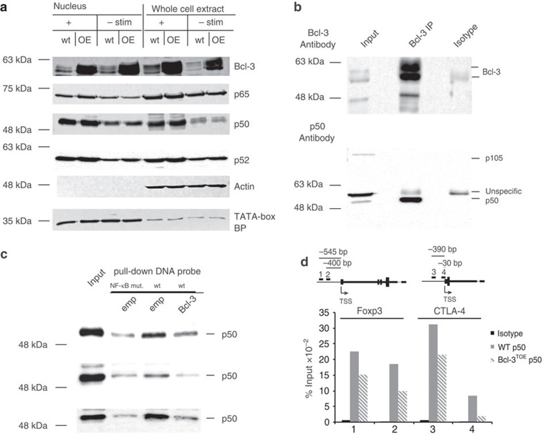 Bcl-3 prevents p50 binding to the Foxp3 and CTLA-4 promoter. ( a ) Western blot analysis of Bcl-3 and the NF-κB family members p50, p52 and p65 in nuclear versus whole extract of Bcl-3 TOE and littermate controls using Tregs either unstimulated (left) or restimulated for 2 h with PMA/Ionomycin (right). One representative blot from two independent experiments is shown. ( b ) Immunoprecipitation with Bcl-3 antibodies using protein extracts from in vitro differentiated Tregs, restimulated with PMA/Ionomycin for 4 h and followed by immunoblot analysis with antibodies against Bcl-3 or p50. One representative blot from two independent experiments is shown. ( c ) Pull-down experiments with DNA probes from promoters of IL2Ra, Foxp3 CN2 (from top to bottowm) with protein extracts from Tregs to which Bcl-3 or empty vector overexpressing lysates were added. One out of two experiments is demonstrated. ( d ) CHiP assay using p50 and isotope control antibodies antibodies were performed in in vitro differentiated Tregs from Bcl3 TOE mice and littermate controls. Primer were designed as indicated for two sites within the CTLA-4 and Foxp3 Promoter region. One of two representative biological examples is shown.