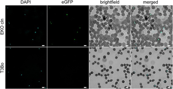 Detection of the expression of egfp in B. bovis 6-Cys EKO mutant line by fluorescence microscopy. Upper panels: ( left to right ) represents transfected parasites of the EKO Cln line stained with DAPI, fluorescent light, brightfield and a merged image respectively. Lower panel identical images obtained using the control non-transfected parental parasite line T3Bo. Scale-bars : 5 μm