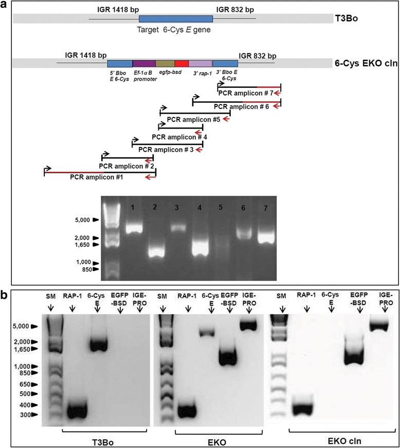 PCR analysis for integration of egfp-bsd in transfected B. bovis . a Top panel: schematic representation of the intact 6-Cys E locus in the T3Bo strain and the 6-Cys EKO- cln parasites as deduced from full genome sequence of 6-Cys EKO- cln parasites. The red coloured lines represent gDNA sequences that are not a part of the targeted region included in the transfection plasmid p6-Cys-EKO . Lower panel: agarose electrophoresis analysis performed on the PCR products corresponding to each of the fragments numbers 1–7 in the upper panel. b Comparative PCR analysis performed on the line EKO- cln , T3Bo, and EKO, using RAP-1, 6-Cys E , egfpbsd , and IGE - Pro primer sets. SM represents standard molecular weight 10 Kbp