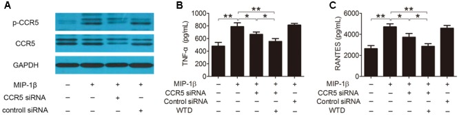 Effects of WTD on production of TNF-α and RANTES in MIP-1β-induced U937 cells after <t>CCR5</t> knockdown. U937 cells were transfected with or without CCR5 <t>siRNA,</t> then treated with or without WTD for 2 h, and then exposed to MIP-1β (25 nM) for 24 h. Total CCR5 and its phosphorylation form (A) were detected by western blotting. The levels of TNF-α (B) and RANTES (C) in cell supernatants were detected by ELISA. ∗∗ P
