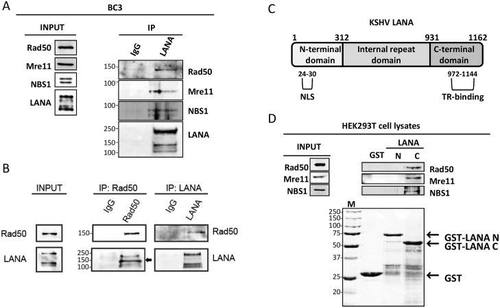 KSHV LANA recruits MRN (Mre11-Rad50-NBS1) complex. ( A ) Co-immunoprecipitation of endogenous LANA and MRN proteins in BC3 cells. Cells were lysed using TBS-T buffer and the cell lysate was incubated with benzonase. After centrifugation, supernatant was incubated overnight with anti-LANA or IgG-control beads. The precipitated complexes were analyzed for the presence of endogenous Rad50, Mre11 and NBS1 by SDS-PAGE and immunoblotting. For the input, see Materials and methods . ( B ) Co-immunoprecipitation of endogenous LANA and Rad50 in BC3 cells. Co-immunoprecipitation of endogenous Rad50 was performed and analysed as in (A), but with anti-Rad50-antibody-coated-beads (left) or anti-LANA coated beads (right). The arrowhead indicates the smaller LANA forms co-immunoprecipitating with Rad50 (see text). ( C ) Schematic representation of LANA domain structure. NLS: Nuclear Localization Signal; TR: KSHV Terminal Repeats. ( D ) Pull-down assay with GST-fused LANA-C (aa 931–1162) and LANA-N (aa 1–312) proteins and HEK293T cell lysates. HEK293T were lysed with TBS-T buffer and incubated 4 hours with GST-fused proteins or GST alone, as negative control. Top : immunoblot for endogenous Rad50, Mre11 and NBS1 bound to GST-fused LANA fragments. Bottom : Ponceau staining to detect GST-fused proteins. (M) for marker.