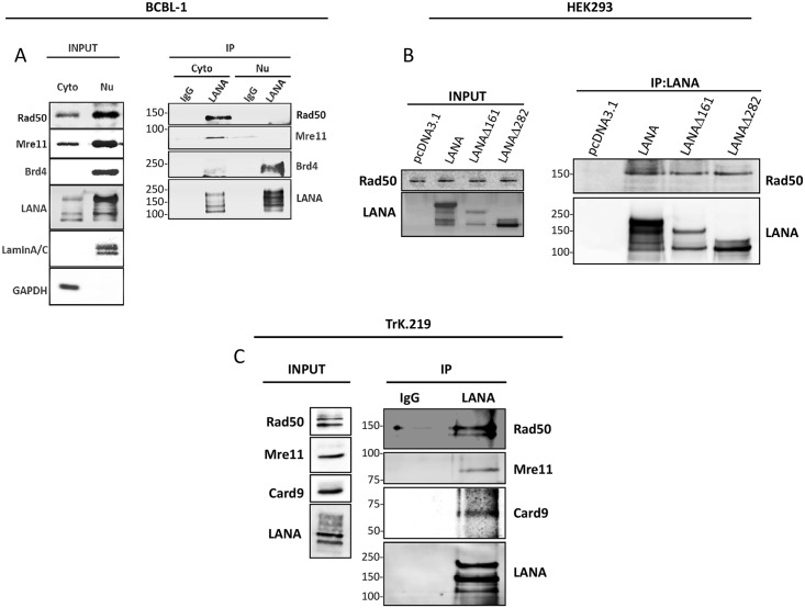 KSHV LANA recruits Rad50 and Mre11 in the cytosol. ( A ) Co-immunoprecipitation of endogenous LANA, Rad50, Mre11 and Brd4 in BCBL-1 cells upon cytosolic-nuclear fractionation. Cells were lysed and cytoplasmic extracts (Cyto) and nuclear extracts (Nu) were prepared using the Thermo-Fischer Nu-Cyto fractionation kit following the manufacturer's instructions. Cytoplasmic and nuclear fractions were incubated overnight with sepharose beads coated with LANA-antibody or IgG-control. Left (INPUT, see Materials and methods ): Brd4, Lamin A/C and GAPDH immunoblots were analyzed to confirm the efficiency of the fractionation. Right (IP): immunoprecipitation with LANA-antibody or IgG-control coated-beads and immunoblot for endogenous Rad50, Mre11 and Brd4. ( B ) Co-immunoprecipitation of endogenous Rad50 and full-length LANA or ΔN mutants (Δ161 and Δ282) transfected into HEK293 cells. HEK293 cells were transfected with LANA constructs (or empty vector). 48 hours later cells were lysed and incubated with <t>benzonase.</t> After centrifugation, cells were incubated overnight with beads coated with LANA-antibody. Left (INPUT): immunoblot to check the expression of LANA constructs and the endogenous Rad50 in the cells. Right (IP from LANA-antibody-coated-beads): immunoblot for endogenous Rad50 co-immunoprecipitation. ( C ) Co-immunoprecipitation of endogenous LANA and Rad50, Mre11 and CARD9 in latently KSHV-infected THP-1 cells (TrK.219 cells, see Materials and methods ). Cells were lysed and incubated with benzonase. After centrifugation, whole cell lysates were incubated overnight with beads coated with anti-LANA or IgG-control antibody. Precipitated complexes were analysed by SDS-PAGE and immunoblotting with the indicated antibodies.