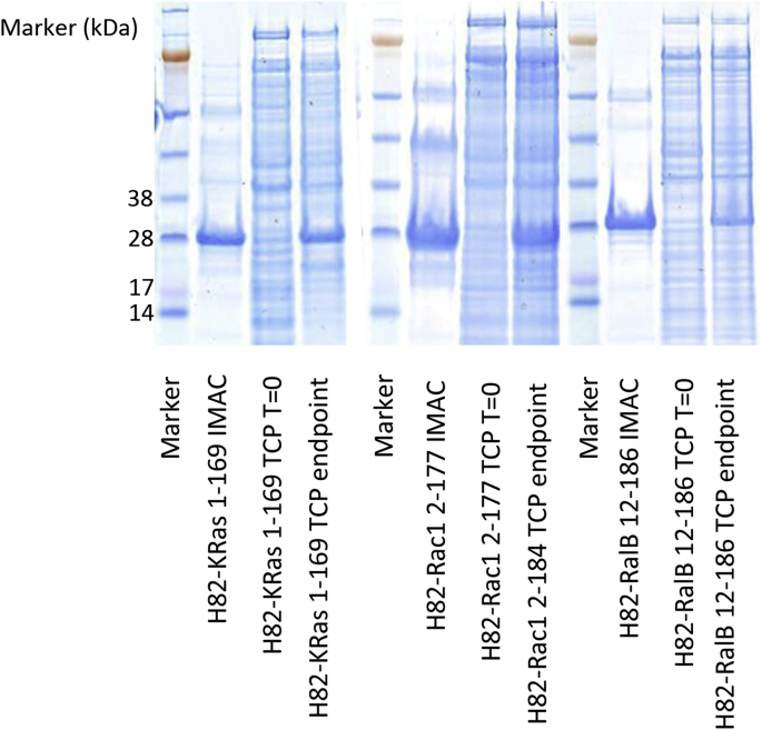 Small Scale expression analysis from pBDDP-SPR3 constructs. GTPases were expressed in the <t>Bl21</t> (DE3) <t>pLysS</t> strain of E. coli in Luria Bertani broth supplemented with 30 μg/ml kanamycin sulfate. A 1 ml sample of cells was collected before induction and at the time of cell harvesting. This allowed the assessment of total cell protein by SDS-PAGE, and the visualisation of over-expressed target protein. A 40 ml sample of expression culture was applied to a small scale CoNTA IMAC purification to demonstrate the presence of soluble his-tagged protein. (As reported by others, CoNTA spin column purification has proved particularly useful in this respect and gives a consistently clear indication of levels and integrity of recombinant proteins [20] .) In all three cases there was significant soluble expression of the GTPase allowing progression to FPLC scale purification (H 8 -H 8 -KRas 1–169, 24.8 kDa; H 8 -H 8 -Rac1-2-177, 26.2 kDa; H 8 -H 8 -RalB, 25.5 kDa).