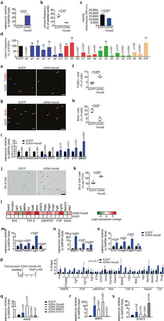 Overexpression of Hox genes inhibits SC function a , Expression of Hoxa9 in SCs transduced with Hoxa9 cDNA or EGFP as control. b–c , FACS-isolated SCs from young adult mice were transduced with a lentivirus either containing both EGFP and Hoxa9 cDNA or only EGFP. Infected (EGFP + ) cells were isolated after 3 days. (b) Frequency of myogenic colonies from single cell-sorted SCs. (c) Quantification of cell number based on Alamar Blue assay of bulk cultures. d , Frequency of myogenic colonies of SCs overexpressing the indicated Hox genes. e+g , TUNEL (e) or BrdU (g) staining of SCs overexpressing Hoxa9 or EGFP. Infected (EGFP+) cells were isolated 3d after transduction and analyzed 3d later. Nuclei were counterstained with DAPI (blue). Arrowheads mark TUNEL or BrdU positive cells. f+h , Quantification of apoptosis (f) or proliferation (h) based on TUNEL or BrdU staining as in e or g. i , qRT-PCR based expression analysis of various cell-cycle and senescence markers in SCs overexpressing Hoxa9 compared to EGFP-infected controls, day 5 after infection. j , SA-ß-Galactosidase staining of SCs overexpressing Hoxa9 or EGFP at day 5 after infection. Arrowheads mark SA-ß-Gal positive cells. k , Quantification of senescence per field of view (FOV) based on SA-ß-Gal staining in j. l , Heat map displaying log2 fold changes of expression of selected genes from microarray analysis in Fig. 5a . m–o , qRT-PCR validation of differentially expressed genes annotated to Wnt- (m), TGFß- (n) and JAK/STAT pathways (o) as in l. p , Identification of Hoxa9 binding sites by anti-HA ChIP of primary myoblasts overexpressing HA-tagged Hoxa9 cDNA or EGFP as control. Shown is the qRT-PCR for 1 or 2 putative Hoxa9 binding sites at the indicated loci. Hoxa9 binding sites at target genes were identified as described in Methods and are listed in Supplementary Table 1 . A two-sided block bootstrap test on the difference of the percentage of bound DNA for all binding sites being equal to 0 was performed 