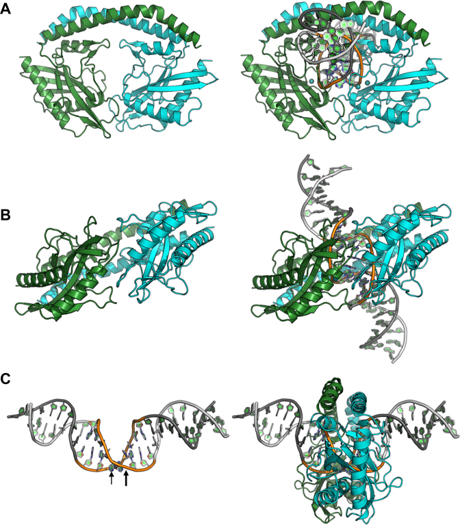 Structure of the DNA-bound form of SwaI in the presence of calcium ions. the structure of the same complex in the presence of magnesium ions (not shown) is virtually indistinguishable, with the exception of fully cleaved DNA ends in the two enzyme active sites (Figure 7 ). ( A and B ) Ribbon diagrams of the enzyme homodimer (colored as in Figure 2 ) with and without the bound DNA are shown for clarity. The enzyme undergoes a significant conformational closure around the DNA target site, that is augmented by smaller movements and ordering of surface loops along the nuclease domain (that present side chains to the DNA backbone and its nucleotide bases). ( C ) Bending of the DNA target (the 8 bases of the actual target are colored, and the location of the scissile phosphates are indicated with arrows) and corresponding position of the enzyme ring around the target site.