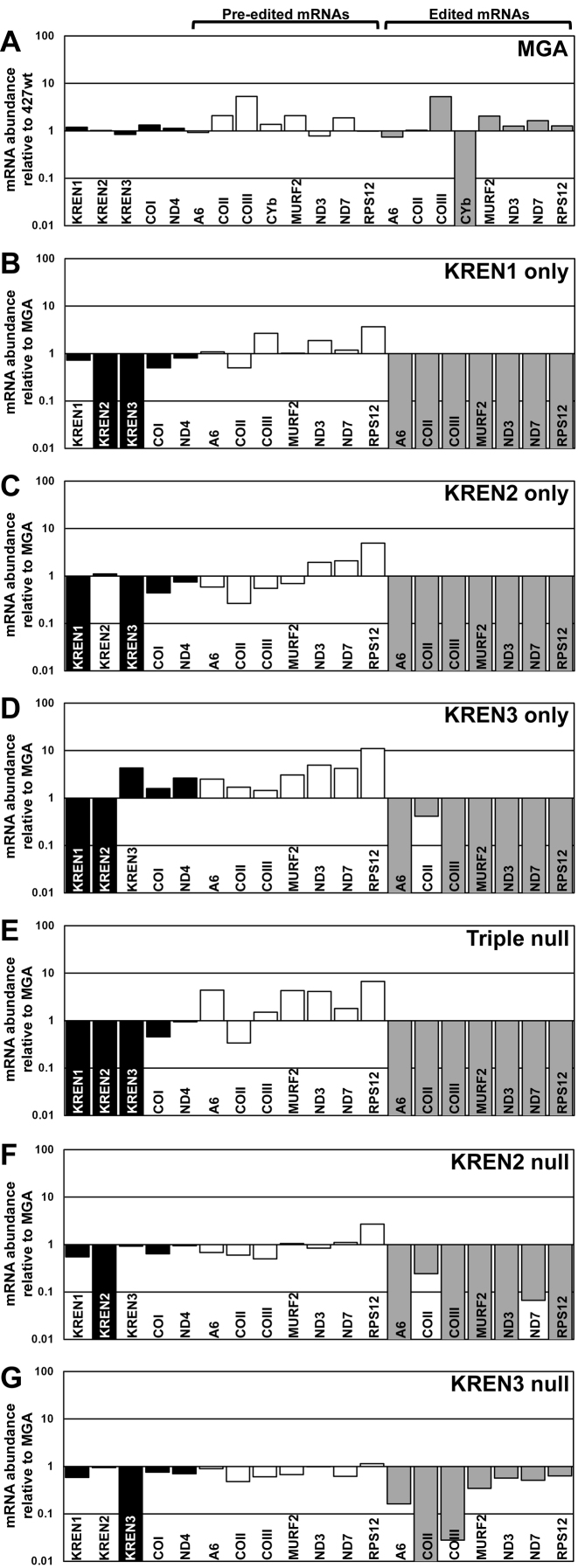Real-time <t>PCR</t> analysis shows loss of endonuclease expression and associated loss of editing. Relative RNA abundance is shown for KREN1, KREN2, KREN3 and never-edited mRNAs COI and ND4 (black bars), pre-edited mRNAs (white bars), and edited mRNAs (gray bars). For each target <t>amplicon,</t> the relative change in RNA abundance was determined by using telomerase reverse transcriptase (TERT) mRNA as an internal control, with each cell line compared relative to either 427wt or MGA control as indicated. ( A ) MGA cells have no large changes in mRNA abundance relative to 427wt, with the exception of the complete loss of CYb editing. As the remaining cell lines are compared to MGA, CYb is excluded from those analyses. ( B ) KREN1 only cells have no detectable KREN2 or KREN3 mRNA, and a broad loss of RNA editing. ( C ) KREN2 only cells have no detectable KREN1 or KREN3 mRNA, and a broad loss of RNA editing. ( D ) KREN3 only cells have no detectable KREN1 or KREN2 mRNA, and a broad loss of RNA editing, with COII editing notably retained. ( E ) Triple null cells have no detectable KREN1, KREN2, or KREN3 mRNA, and a broad loss of RNA editing. ( F ) KREN2 null cells have no detectable KREN2 mRNA, and a broad loss of RNA editing with some amount of COII and ND7 editing retained. ( G ) KREN3 null cells have no detectable KREN3 mRNA, and a loss of COII RNA editing with variable amounts of other edited mRNAs retained.