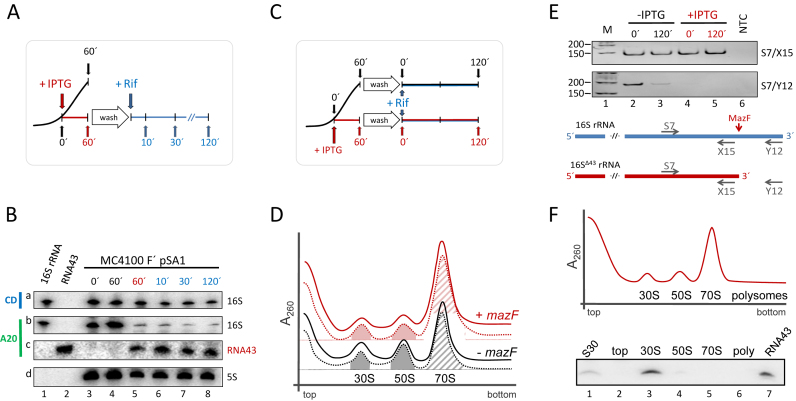 RNA43, 16S Δ43 rRNA and 70S Δ43 ribosomes are stable during stress conditions. ( A ) Schematic depiction of the experimental approach to assess the stability of RNA43 and 16S Δ43 rRNA in vivo . A schematic growth curve in the absence of IPTG is shown in black. At OD 600 of 0.3 the culture was divided and IPTG was added to one half to induce mazF expression (growth is blocked as indicated in red). 60 minutes thereafter, cells were washed and resuspended in fresh medium comprising rifampicin (in blue). ( B ) Samples withdrawn at the time points indicated were subjected to northern blot analysis with probes specific for the central domain of the 16S rRNA (CD, panel a), the 3΄-terminus of the 16S rRNA (A20; panel b) and the RNA43 (A20; panel c). 5S rRNA was used as internal standard for quantification (panel d). In vitro transcribed 16S rRNA (lane 1) and RNA43 (lane 2) served as size markers. The experiment was performed in triplicate and one representative autoradiograph is shown. ( C ) Schematic of the experimental approach to assess the stability of 70S Δ43 ribosomes in vivo as described in A. ( D ) S30 extracts were prepared before (dotted lines) and 120 min after addition of rifampicin (solid lines) to untreated cells (black lines) or 60 min after induction of mazF expression (red lines) and subjected to sucrose density gradient analysis. Peaks representing 30S and 50S subunits and 70S ribosomes are indicated. The peak areas of the 30S and 50S subunits (filled areas) and 70S monosomes (hatched area) that were quantified to determine the subunits/monosome ratios are indicated. ( E ) To monitor MazF-mediated processing of the 16S rRNA, RNA was isolated from the fractions comprising the 70S monosomes. RT-PCR analysis using primers S7/X15 (upper panel), specific for both intact 16S rRNA and 16S Δ43 rRNA, and primers S7/Y12 (lower panel), yielding a product only with uncleaved 16S rRNA. NTC: no template control. Below, the binding sites of the primers are given schemati