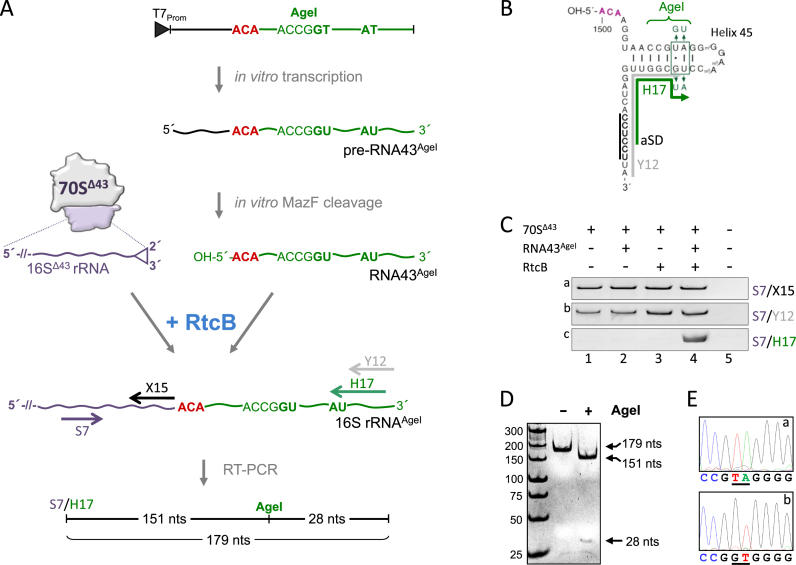 RtcB re-ligates RNA43 to purified 70S Δ43 ribosomes in vitro . ( A ) Schematic showing the in vitro ribosome repair assay (see text for details). ( B ) RNA43 AgeI used in the assay. Nucleotides changed in helix 45 and the binding site for primers Y12 (gray) and H17 (green) are indicated. ( C ) RT-PCR performed on RNA purified from 70S Δ43 ribosomes incubated in the absence of RtcB and RNA43 AgeI (lane 1), in the presence of either RNA43 AgeI (lane 2) or RtcB (lane 3), or both (lane 4) employing primer pairs specific for the central region of 16S rRNA (S7/X15; panel a), the 3΄end of 16S rRNA (S7/Y12; panel b), and specific for the AU nucleotide change present in 16S AgeI rRNA upon successful ligation (S7/H17; panel c). ( D ) AgeI restriction analysis and ( E ), sequencing of the RT-PCR product obtained with primer pair S7/H17 (shown in C, panel c, lane 4). Sequencing analyses from position 1509–1517 of the 16S rRNA of (a) rrsB , and (b) the RT-PCR product are shown. Nucleotides changed in RNA43 AgeI are underlined.