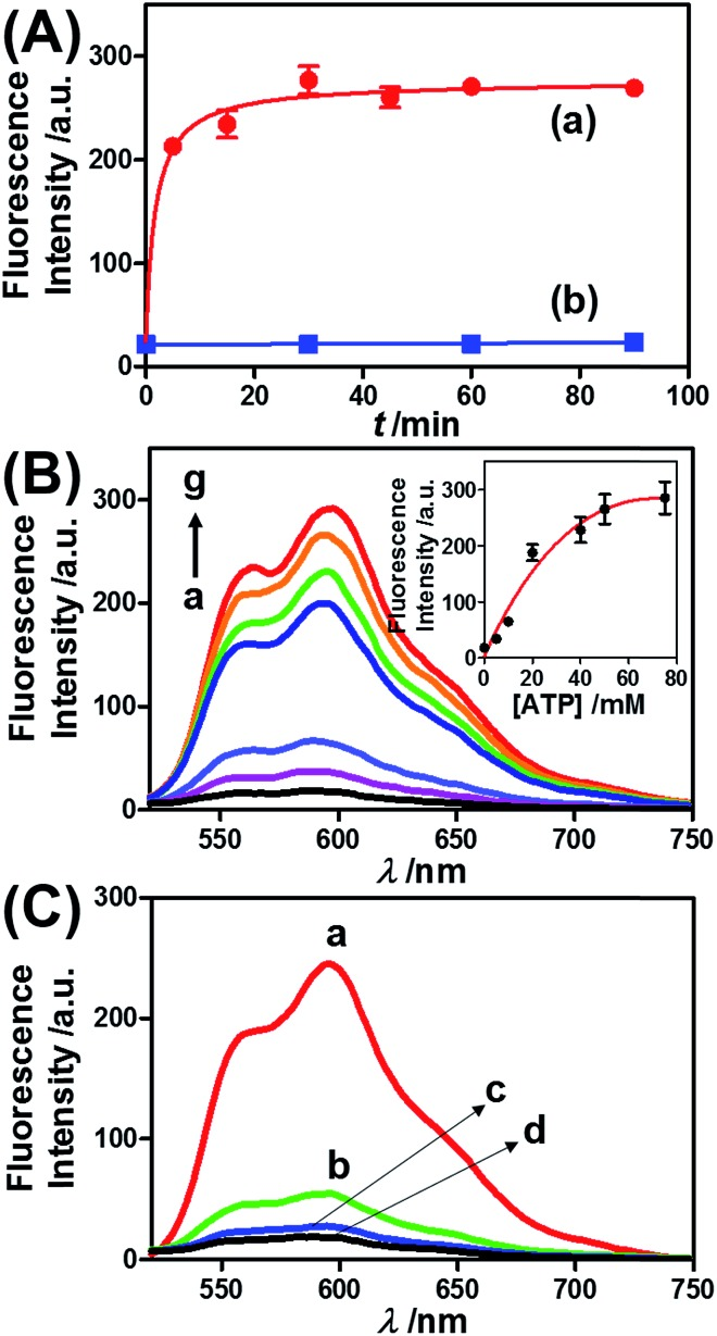 (A) Time-dependent release of DOX-D from the <t>ATP-responsive</t> hydrogel microcapsules treated with 50 mM ATP (a) and without added ATP (b). The released DOX-D was acidified to enable the cleavage of fluorescent doxorubicin from dextran. (B) Fluorescence spectra corresponding to the release of doxorubicin upon exposing the ATP-responsive hydrogel microcapsules to different concentrations of ATP for a fixed time interval of 30 min: (a) 0, (b) 5, (c) 10, (d) 20, (e) 40, (f) 50, and (g) 75 mM. Inset: derived calibration curve of the fluorescence intensities of the released doxorubicin at λ em = 600 nm upon treatment with different concentrations of ATP. (C) Fluorescence spectra corresponding to the release of doxorubicin from the ATP-responsive microcapsules loaded with doxorubicin-dextran and exposed to different nucleoside triphosphates for a fixed time interval of 30 minutes: (a) 25 mM ATP, (b) 25 mM CTP, (c) 25 mM <t>GTP,</t> and (d) untreated.