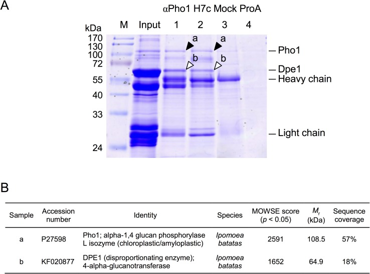 Dpe1 was co-immunoprecipitated with Pho1 by using anti-Pho1 antibody. (A) Whole cell extracts from the 10-week sweet potato storage roots (protein concentration 1 mg/ml) were pre-incubated with glucan-degrading enzymes (5 U/mL of amyloglucosidase and 7.7 U/mL of α-amylase) at 25°C for 20 min, and then incubated with antibodies for Protein-A Sepharose immunoprecipitation: lane 1, conventional antisera against Pho1 (αPho1); lane 2, Pho1 specific mAb (H7c); lane 3, an unrelated mAb (Mock); lane 4, the control experiment using Protein A-Sepharose beads alone without any antibody (ProA). After the immunoprecipitation procedures, the eluted proteins were directly analyzed on 12.5% SDS-PAGE, and stained with Coomassie Brilliant Blue R-250 (CBR). For comparison, 10 μg of the whole cell extracts were also analyzed on the same SDS-PAGE (designated as Input). Arrowheads indicated the positions of Pho1 (closed) and Dpe1 (open). M, pre-stained SDS-PAGE molecular mass standards. (B) The protein samples from bands a and b were sliced out for mass spectrometry analysis. The results demonstrated that band a is Pho1 and band b is Dpe1.