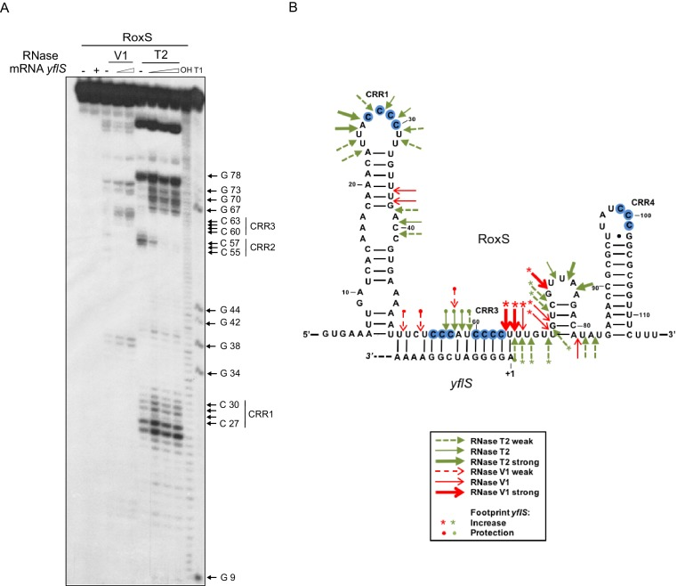 RoxS uses C-rich region 3 (CRR3) to interact with the extreme 5'-end of yflS mRNA. ( A ) Enzymatic probing of the RoxS sRNA secondary structure in the presence and absence of yflS . The 5' end-labeled RoxS sRNA was digested with RNase V1 and RNase T2 and run on an 8% polyacrylamide–urea gel. The enzymatic digestions were performed in the absence (−) or in the presence of increasing concentrations of yflS mRNA (50, 100 and 400 nM) for digestion by RNase T2, and 50 and 100 nM for the experiment with RNase V1. Incubation controls (in the absence of RNase) were done in the absence (−) and in the presence (+) of yflS (400 nM). The positions of CRR1, 2 and 3 are indicated to the right of the gel. The probing experiment was performed twice (technical replicates). ( B ) Secondary structure of the RoxS sRNA and effect of yflS binding. Summary of the cleavage patterns generated by RNase V1 (red arrows) and RNase T2 (green arrows). Increased cleavages upon addition of yflS are indicated by asterisks, increased protection by circles. DOI: http://dx.doi.org/10.7554/eLife.23602.012