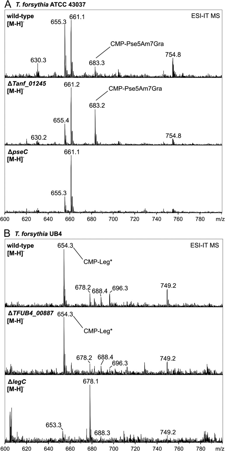 ESI-IT-MS analysis of cellular nucleotide sugar pools from T. forsythia strains. ( A ) CMP-activated Pse5Am7Gra ( m / z 683.3) was detected in the T. forsythia ATCC 43037 wild-type and in the Δ Tanf_01245 mutant, whereas this mass was absent in a Pse biosynthesis deficient strain (Δ pseC ) which served as a negative control. ( B ) In T. forsythia UB4 wild-type and in the Δ TFUB4_00887 mutant, a m / z 654.3 peak was identified, which was attributed to a CMP-activated Leg derivative (CMP-Leg*). This mass is consistent with having Ac and Gc modifications on Leg, based on calculation. Notably, this peak was absent in the Legbiosynthesis deficient strain (Δ legC ) which served as a negative control. Relative peak intensities are given on the y axis.