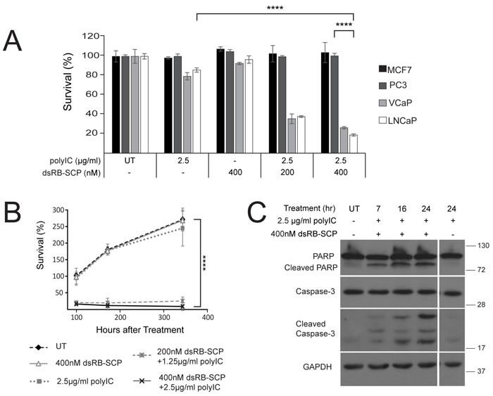 dsRB-SCP/polyIC selectively induces apoptosis of PSMA-overexpressing cells A. Cells were seeded in triplicate, grown overnight, and treated with dsRB-SCP/polyIC, polyIC alone or dsRB-SCP alone, as indicated, for 100 h. Viability was quantified using the CellTiter-Glo Luminescent Cell Viability Assay (Promega). Results (mean and standard deviation) are representative of two independent experiments (**** P ≤ 0.0001, treatment with dsRB-SCP/polyIC of LNCaP vs PC3; **** P ≤ 0.0001 treatment of LNCaP with dsRB-SCP/polyIC vs polyIC alone). B. Surviving cells remained permanently arrested. Cells were seeded in triplicate, grown overnight, and treated as indicated. Medium was replaced and viability was quantified after 100/172/344 h using CellTiter-Glo (**** P ≤ 0.0001 dsRB-SCP/polyIC treatment vs UT). Control cells were unable to proliferate beyond 2.5 doublings because they had reached full confluence. C. LNCaP cells were treated for the indicated times with dsRB-SCP/ polyIC or polyIC alone, lysed and subjected to western blot analysis to detect full-length and cleaved Caspase-3 and PARP.