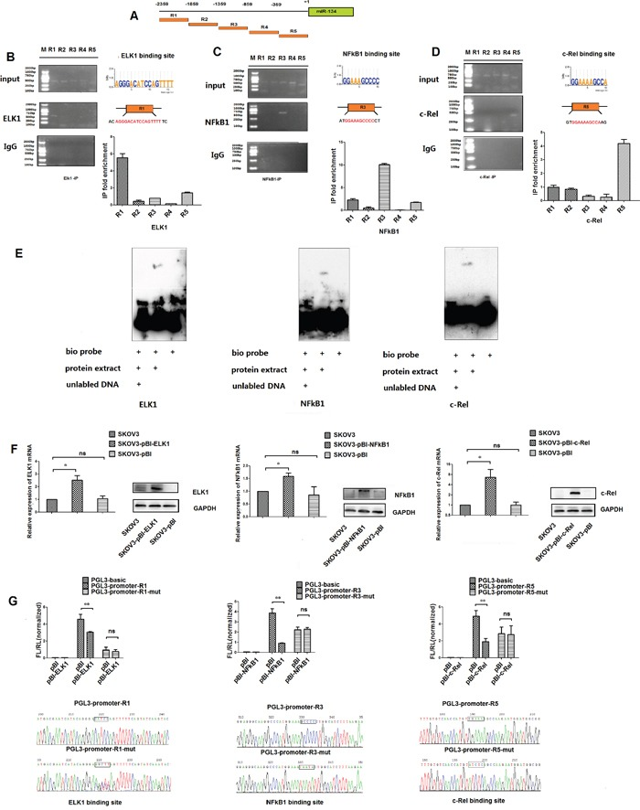 NF-κB1, c-Rel and ELK1 bind directly to the response elements in the putative promoter of miR-134 in ovarian cancer cells A . Five genomic regions (R1–R5) spanning a 2.4 kb sequence upstream of the pre-miR-134. B-D . Binding of NF-κB1, c-Rel and ELK1 to the miR-134 promoter region was validated in SKOV3-TR30 cells by ChIP. Non-immune IgG and input DNA served as negative and positive controls, respectively. The enrichment of the binding of NF-κB1, c-Rel and ELK1 with the R3, R5 and R1 regions was quantified from the corresponding ChIP with qPCR. E . EMSA was performed with nuclear extracts from SKOV3-TR30 cells incubated with 5′-biotin-labeled oligonucleotide sequences containing the binding sites for the NF-κB1, c-Rel and ELK1 transcription factors. Unlabeled competitor sequence was also included to indicate the specificity of the protein-DNA complexes. F . pBI- NF-κB1, pBI- c-Rel and pBI- ELK1 overexpression plasmids were transfected into SKOV3 cells; the transfection efficiency was validated by qRT-PCR and Western blot analyses. G . At 48 h after transfection, luciferase activity was determined and then normalized to Renilla values. H . Sequencing was used to identify that the plasmids including pGL3-promoter-R1 (containing the ELK1 binding site) and its mutant pGL3-promoter-R1-mut, pGL3-promoter-R3 (containing the NF-κB1 binding site) and its mutant pGL3-promoter-R3-mut as well as pGL3-promoter-R5 (containing the c-Rel binding site) and its mutant pGL3-promoter-R5-mut were successfully constructed for luciferase reporter assay. Data represent the mean ± SE of three independent experiments(* P