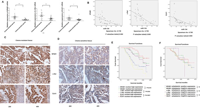 Correlations between miR-134 levels and expression of NF-κB1, c-Rel and ELK1 in serous EOC specimens A . NF-κB1, c-Rel and ELK1 mRNA expression was analyzed by qRT-PCR in tissue from 24 cases of chemosensitive serous EOC and from 24 cases of chemoresistant serous EOC. NF-κB1 mRNA expression was significantly upregulated in chemoresistant serous EOC tissues, while c-Rel mRNA and ELK1 mRNA were overexpressed in chemoresistant tissues compared with that in chemosensitive tissues. B . Spearman correlation coefficient analyses of the correlations between miR-134 and expression of NF-κB1, c-Rel and ELK1 were performed for data obtained from qRT-PCR results and the correlation coefficient 'r' was calculated. C-D . Immunohistochemical staining of NF-κB1, c-Rel and ELK1 in serous epithelial ovarian cancer tissues. C, Expression of NF-κB1, c-Rel and ELK1 in chemoresistant tissue. D, Expression of NF-κB1, c-Rel and ELK1 in chemosensitive tissue. E . Patients with high nucleus NF-κB1, c-Rel and ELK1 expression showed significantly shorter overall survival than those with low nucleus expression. F . The positive cytoplasmic expression of NF-κB1, c-Rel and ELK1 showed no effect on survival in serous EOC patients.