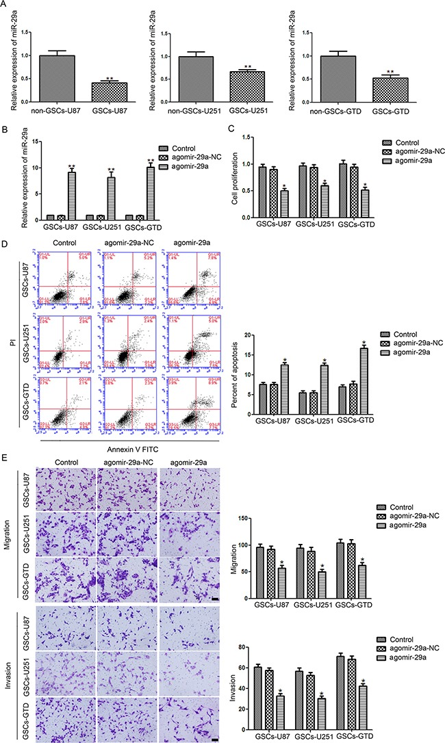 Expression and function of miR-29a in GSCs A . Relative expression of miR-29a in GSCs (CD133+) and non-GSCs (CD133-) isolated from U87 and U251 cell lines and glioblastoma tissues. * P