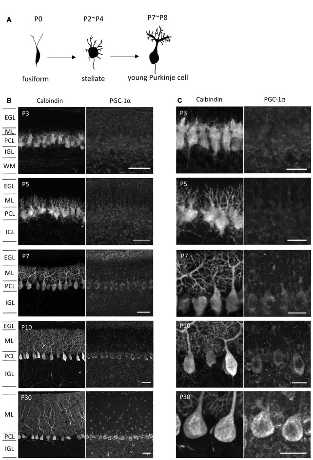 PGC-1α expression in the developing cerebellar cortex. (A) Shape changes of Purkinje cell dendrites during postnatal development. (B,C) Sagittal cerebellar sections were immunostained for PGC-1α and Calbindin at different ages of development and were observed at low (B) and high (C) magnification. Scale bars, 40 μm (B) and 20 μm (C) . PGC-1α was predominantly detected in the Purkinje cells from P7. EGL, external granule layer; ML, molecular layer; PCL, Purkinje cell layer; IGL, internal granule layer; WM, white matter.