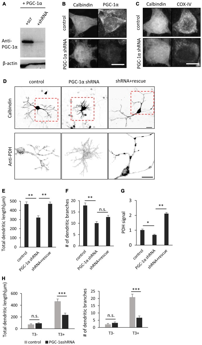 <t>PGC-1α</t> knockdown inhibits T3-induced dendritic growth in Purkinje cells. (A) HEK293T cells expressing mouse PGC-1α were transfected with PGC-1α-scramble (scr) or short hairpin RNA (shRNA) construct and analyzed by western blotting with anti-PGC-1α and anti-β-actin antibodies. (B,C) Cultured Purkinje cells were transfected with PGC-1α-shRNA or scr-shRNA (control) constructs and stained for Calbindin and PGC-1α (B) or Calbindin and cytochrome C oxidase IV (COX-IV) (C) at 10 DIV. Scale bars, 10 μm. (D) Representative images of Purkinje cells transfected with scr shRNA (control), PGC-1α shRNA (PGC-1α shRNA), or PGC-1α shRNA plus an shRNA-resistant mutant of PGC-1α (shRNA + rescue). Cells were cultured in the presence of 10 nM T3 until 10 DIV and immunostained with anti-Calbindin and anti-PDH antibodies. Boxed regions in the upper panels are enlarged in lower panels. Scale bars, 20 μm. (E–G) Quantitative analyses of the total dendritic length (E) , number of dendritic branches (F) and PDH signal (G) . Data represent mean ± SEM, N = 30 for each point, ** p