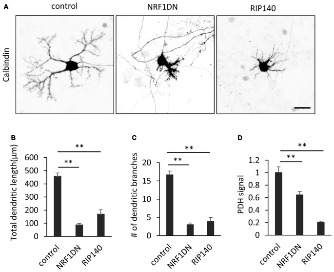 Molecular perturbation of PGC-1α inhibits dendritic outgrowth and mitochondrial activity in Purkinje cells. (A) Representative images of Purkinje cells overexpressing EGFP (control), EGFP-NRF1DN or FLAG-RIP140. Cells were stained for Calbindin at 10 DIV. Scale bar, 20 μm. (B–D) Quantitative analyses of the total dendritic length (B) , number of dendritic branches (C) and PDH signal (D) . N = 40 cells for control, 30 cells for NRF1DN and 30 cells for RIP140. Data represent mean ± SEM, ** p