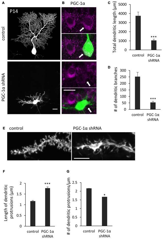 Knockdown of PGC-1α inhibits dendritic outgrowth in vivo Purkinje cells. (A) Representative images of Purkinje cells transfected with scr shRNA (control) or PGC-1α shRNA construct. Scale bar, 20 μm. (B) Dual color images of GFP derived from shRNA constructs (green) and immunostaining with anti-PGC-1α (magenta). Scale bar, 20 μm. (C,D) Quantitative analyses of the total dendritic length (C) and number of dendritic branches (D) in Purkinje cells expressing scr shRNA (control) or PGC-1α shRNA constructs. Data represent mean ± SEM, N = 12 cells from three mice, *** p