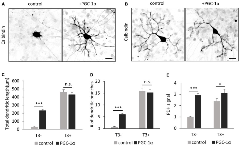 PGC-1α overexpression enhances dendritic outgrowth of Purkinje cells in the absence of T3. (A,B) The morphology of Purkinje cells transfected with tdTomato (control) or PGC-1α-mCherry (+PGC-1α). Cells were cultured with (B) or without (A) T3 and stained for Calbindin at 10 DIV. Scale bars, 20 μm. PGC-1α overexpression induced dendritic outgrowth in the absence of T3 (A) , but not in the presence of T3 (B) . (C–E) Quantitative analyses of total dendritic length (C) branch numbers (D) and PDH signal (E) . Purkinje cells expressing tdTomato (control) or PGC-1α were cultured with or without T3 treatment. N = 30 for all data points. Data represent mean ± SEM, *** p
