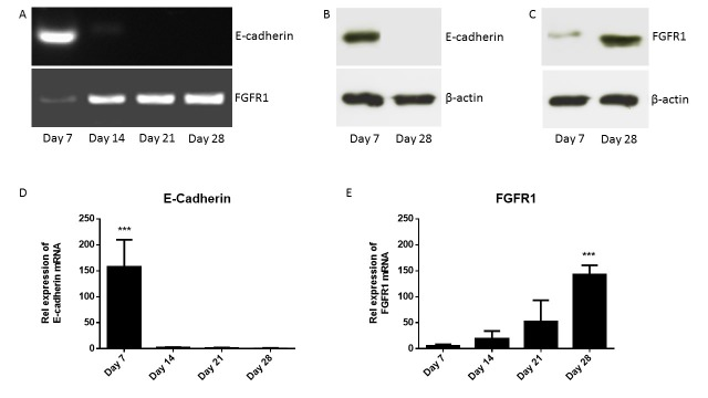 Expression of E-cadherin and FGFR1 during osteoblastogenesis. Primary osteoblasts were differentiated over 4 weeks in osteogenic medium. Panel A shows the expression of E-cadherin and FGFR1 mRNA during osteoblastogenesis. Panel B shows the expression of E-cadherin protein in immature (day 7) and mature (day 28) osteoblasts using western blotting. Panel C shows the expression of FGFR1 protein in immature (day 7) and mature (day 28) osteoblasts using western blotting. Panel D shows the relative expression of E-cadherin during osteoblastogenesis using TaqMan. Panel E shows the relative expression of FGFR1 during osteoblastogenesis using TaqMan.