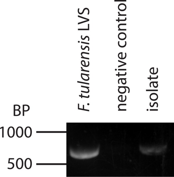 Mosquitoes transfer F . tularensis from one nectar surrogate source to another. DNA was extracted from bacteria isolated from media selective for F . tularensis . Only colonies that produced a similar morphology to F . tularensis were selected. The extracted DNA was subjected to PCR using primers specific for mglA of Francisella sp. Agarose gel electrophoresis was used to compare amplicons produced from bacteria isolated from nectar surrogate to those generated from bona fide F . tularensis DNA. PCR from only one isolate is shown for simplicity, but all other colonies with similar morphologies produced a similar amplicon band. PCR reactions lacking template DNA did not produce amplicons.