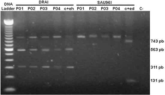 Nested PCR-RFLP (restriction fragment length polymorphism) of SSU rRNA gene for the identification of E . histolytica and E. dispar . Lane 1 , molecular weight marker; lanes 2–5 , Dra I digested PCR products; lane 6 , DNA positive control for E. histolytica (c+eh); lane 7–10 , Sau 96I digested PCR products; lane 11 , DNA positive control for E. dispar (c+ed); and lane 12 , negative control.