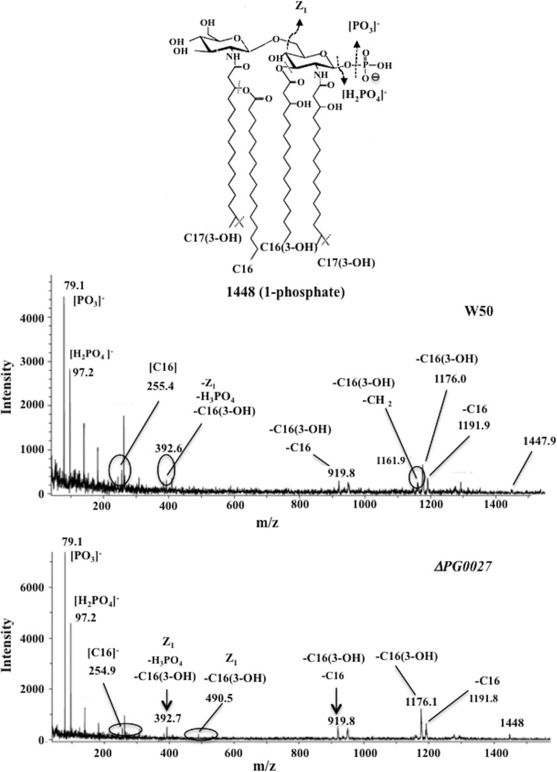 MALDI TOF/TOF tandem mass spectrum of m / z 1,448 of lipid A from P. gingivalis W50 (A) and the Δ PG0027 mutant strain (B). Inset structures show the proposed phosphate positioning, and dashed lines and arrows indicate possible cleavage sites.