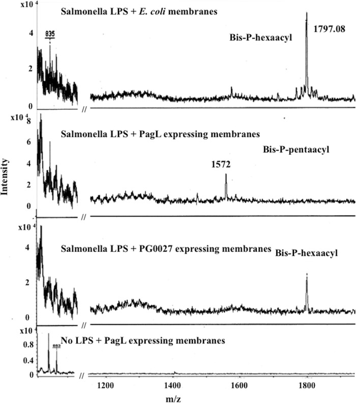 Lipid A-modifying activity of S . Typhimurium PagL and P. gingivalis PG0027 expressed in E. coli with Salmonella LPS as the substrate. Salmonella LPS was incubated with PagL-expressing membranes (in E. coli ) and PG0027-expressing membranes (in E. coli ), and lipid A was isolated from the reaction mixture and analyzed by MALDI-TOF MS in linear negative-ion mode.