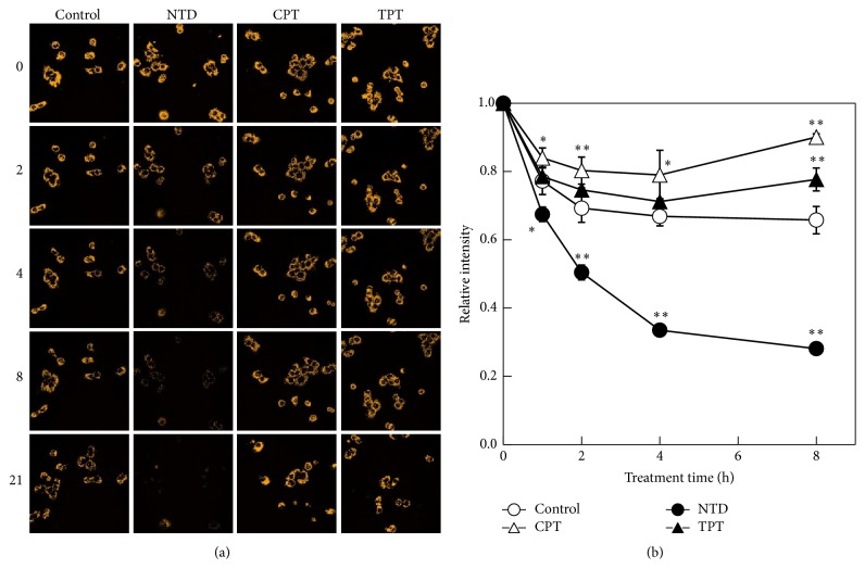 Time-dependent changes of the mitochondrial membrane potential. A549 cells were treated with JC-1 for 30 min. After washing with phosphate-buffered saline (PBS) (−), the cells were treated with nitidine (NTD), camptothecin (CPT), or topotecan (TPT) (0 h). The fluorescence of JC-1 was observed by confocal fluorescent microscopy (0, 1, 2, 4, 8, and 21 h after treatment). (a) Orange fluorescence represents JC-1, which formed J-aggregates in mitochondria in a mitochondrial membrane potential-dependent manner. (b) The fluorescent intensity of the image was quantified. All values were quantified from three random areas. Data are presented as the related intensity corrected by the value of 0 h. ∗∗ p