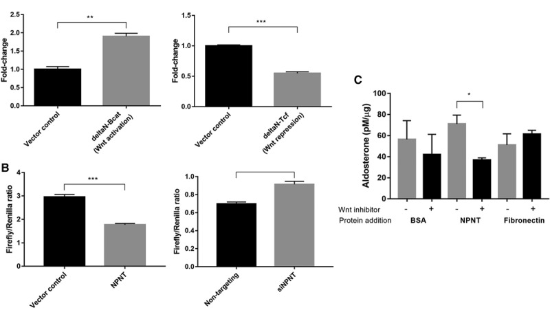 <t>NPNT</t> ( nephronectin ) is a Wnt target gene and produces aldosterone via Wnt. A , Constitutive Wnt activation (ΔN-Bcat) induces NPNT mRNA expression, whereas constitutive Wnt repression (ΔN-TCF4) decreased NPNT expression compared with vector control (n=3). B , Wnt transcriptional complex T-cell factor/lymphoid enhancer factor (TCF/LEF) activity decreased in NPNT -overexpressed and increased in NPNT -silenced samples, as measured by firefly/renilla luciferase assay (n=6; n=4). C , Wnt inhibitor LGK-974 attenuated the increase in protein-normalized aldosterone production with addition of NPNT protein, compared with negative controls <t>BSA</t> and fibronectin (n=3). Bars represent mean expression per group±SEM. Statistical analyses were conducted by Student t test. * P