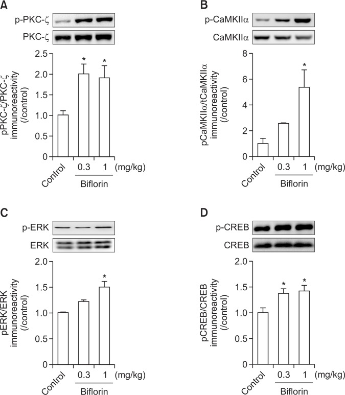 Effects of biflorin on memory-related proteins in the hippocampus. The mice were administered biflorin (0.3 or 1 mg/kg, p.o.) or the same volume of vehicle (10% Tween 80 solution) and sacrificed 1 h after drug administration. The immunoreactivity and quantitative analysis of PKC-ζ, phosphorylated PKC (pPKC-ζ) (A), CaMKII, phosphorylated CaMKII (pCaMKII) (B), ERK, phosphorylated ERK (pERK) (C), CREB, and phosphorylated CREB (pCREB) (D) were measured in the hippocampal tissue. Data represent the means ± SEM (n=3-4/group) ( * p