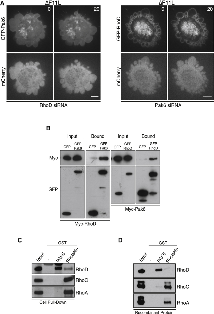 RhoD Interacts Directly with <t>Pak6</t> (A) Images showing that siRNA-mediated ablation of RhoD leads to a loss of GFP-Pak6 recruitment to the plasma membrane in cells infected with ΔF11L. In contrast, loss of Pak6 does not impact on recruitment of GFP-RhoD to the plasma membrane (see Movie S7 ). Scale bar, 5 μm. (B) Immunoblot analysis with the indicated antibodies of a GFP-Trap pull-down on cell lysates from uninfected HeLa expressing Myc-RhoD and GFP-Pak6 or GFP-RhoD and Myc-Pak6. (C) Immunoblot of glutathione-Sepharose pull-downs on HeLa cell lysates demonstrates that <t>GST-Pak6</t> interacts with RhoD, while Rhotekin preferentially associates with RhoA and RhoC. (D) Immunoblot of glutathione-Sepharose pull-downs with recombinant proteins demonstrates that GST-Pak6 interacts with RhoD but not RhoA or RhoC. See also Figure S7 .