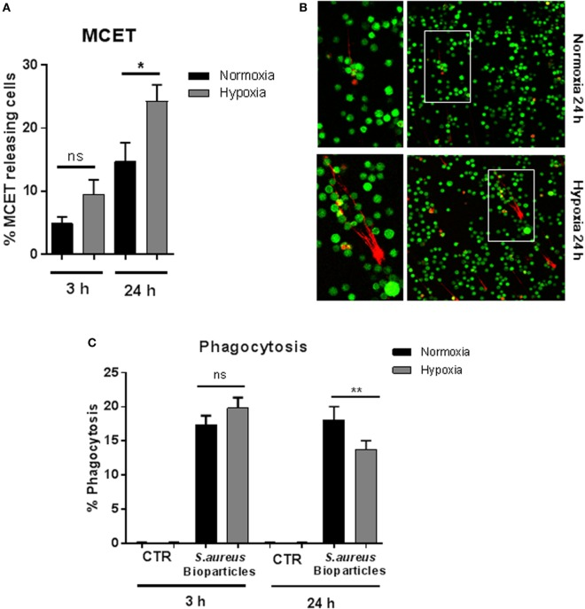 MC extracellular trap (MCET) induction and phagocytosis of Staphylococcus aureus bioparticles . (A) MCETs were visualized without fixation using the live/dead viability/cytotoxicity kit (Invitrogen) for mammalian cells. Significantly more MCETs are found after 24 h hypoxia versus normoxia, but not after 3 h. Results are shown from the analysis of n = 3 independent experiments, each with four individual images. (B) Representative fluorescence micrograph of MCET induction (red: dead cells/MCETs in a fiber like structure; green living cells). (C) Mast cells (MCs) (2 × 10 6 cells/ml) were preincubated 3 or 24 h under hypoxia (37°C, 1% O 2 , 5% CO 2 ) or normoxia (37°C, 21% O 2 , 5% CO 2 ). Then phycoerythrin (PE)-labeled S. aureus (Wood strain, bioparticles; Sigma) at an MOI of 60 was incubated with MCs for 30 min under the respective oxygen condition. CTR represents uninfected control. The cells were washed with PBS and centrifuged to remove non-phagocytosed bacteria. PE-fluorescence was measured using a Beckman Coulter EPICS XL flow cytometer. The red fluorescence intensity per MC (% gated) was recorded and represents the mean relative phagocytosis of PE-labeled S. aureus per MC of n = 3 independent experiments.