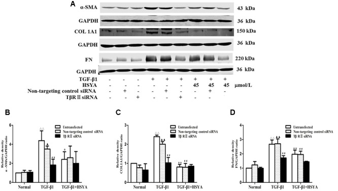 Effects of HSYA on α-SMA, COL1A1, and FN protein expression in TGF-β1-treated MRC-5 cells with TβRII knockdown. MRC-5 cells were pretreated with TβRII-non-targeting control siRNA or TβRII siRNA for 24 h followed by 45 μmol/L HSYA for 30 min before stimulation with 10 ng/mL TGF-β1 for 48 h. Protein expression levels of α-SMA, COL1A1, and FN were measured by western blotting (A) . Densitometric analyses of α-SMA (B) , COL1A1 (C) , and FN (D) . Data are presented as mean ± SD, n = 3 per group. ΔΔ p