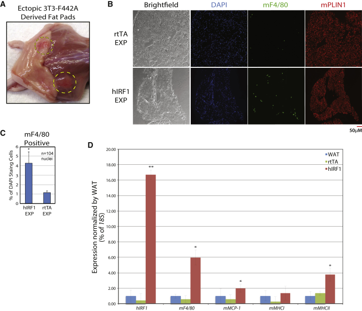 IRF1 Leads to Increased Inflammation In Vivo (A) 3T3-F442A cells were transduced with either rtTA alone, or human IRF1 (hIRF1) containing lentiviral particles, and were injected into 6-week-old nude mice (n = 4). Six weeks after injection, ectopic subcutaneous fat pads (dashed circles) were excised. (B) Ectopic fat explants (EXP) were stained with DAPI (blue) and probed with α-F4/80 (green) and α-PLIN1 (red). (C) F4/80-positive cells were counted relative to DAPI staining foci in hIRF1 explants versus rtTA explants and autologous WAT (see Figure S3 C). A minimum of 10 4 DAPI foci were counted for each experiment. (D) qPCR was used to assess expression of hIRF1 and inflammation-associated mouse genes in both explants and autologous WAT (n = 3). Error bars represent SD, experiments were performed in biological triplicates, and statistically significant p values are denoted by asterisks ( ∗ p ≤ 0.05, ∗∗ p ≤ 0.005).