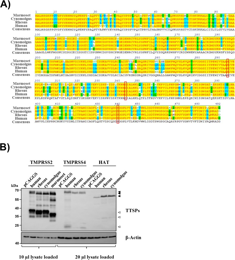 TMPRSS2, TMPRSS4 and HAT are conserved between humans and non-human primates. (A) Amino acid sequence alignment of human (NP_005647.3), rhesus macaque (XP_014988331.1), cynomolgus macaque (XP_015302312.1) and common marmoset (XP_008984973.1) TMPRSS2. Protein alignment was performed by using Vector <t>NTI</t> <t>AlignX.</t> Colors indicate amino acid identity (yellow), conservation (blue) and similarity (green). The catalytic triad is boxed. (B) For analysis of protease expression, 293T cells were transfected with plasmids encoding TMPRSS2, TMPRSS4 or HAT of the indicated species and equipped with an N-terminal myc antigenic tag. Empty plasmid (pCAGGS) served as a negative control. Protease expression in cell lysates was detected via Western blotting with anti-myc antibody. Due to more prominent expression of TMPRSS2 relative to TMPRSS4 and HAT proteins, 10 μl of lysates from TMPRSS2 expressing cells and 20 μl of lysates from TMPRSS4 and HAT expressing cells were loaded for separation by SDS gel-electrophoresis. The expression of β-actin was determined as a loading control. Filled triangles indicate zymogen forms, while empty triangles highlight cleavage products resulting from autocatalytic activation. The results were confirmed in at least two separate experiments.