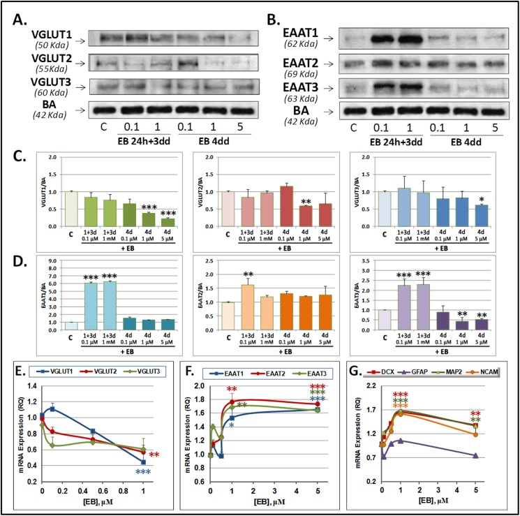 Evans Blue (EB) effect on VGLUT and EAAT expression at the protein (A-D) and the mRNA level (E-F) and on mRNA expression of neurogenic markers (G) in SVZ NPCs in primary culture. Cells were acutely (24 h EB + 3 dd) or chronically (4 dd) treated with EB at indicated concentrations and then analyzed by RTqPCR for mRNA expression. A-B) Representative Westerns blots of VGLUTs (A) and EAATs (B) and quantification normalized to β-actin (C-D). (E-G). Graphs show data of VGLUTs (E), EAATs (F) or DCX, GFAP, MAP2 and NCAM (G) mRNA expression. Data are means ± SEM of three experiments each one performed by duplicate in different cultures. Statistical significances against controls were performed by One Way ANOVA followed by Tukey post hoc test, when analysis of variance was significant. (*) P