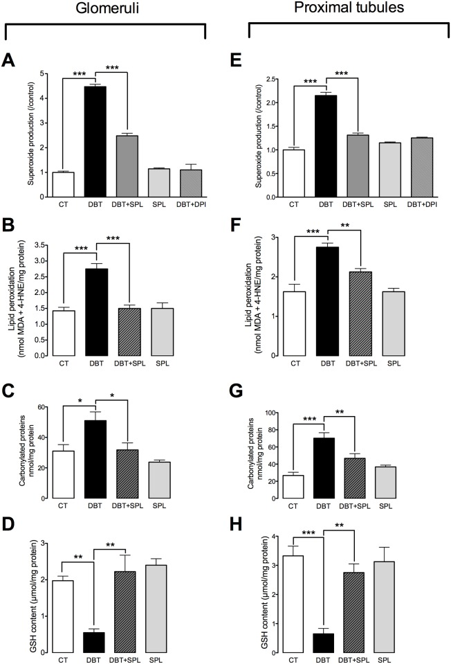 SPL decreases diabetes-induced oxidative stress in GL and PT. To evaluate oxidative stress, superoxide anion (O 2 ●― ) production, lipid peroxidation, protein carbonylation and reduced glutathione (GSH) content were measured in isolated GL and PT. SPL treatment prevents diabetes-induced increment in O 2 ●― production (A) by using nicotinamide adenine dinucleotide phosphate (NADPH) as substrate and, diphenyleneiodonium (DPI) as inhibitor, lipid peroxidation (B) and protein carbonylation (C) and decreased GSH content (D) in GL ( S3 Fig ). Also, SPL diminished diabetes-induced increment of O 2 ●― production (E), lipid peroxidation (F) and protein carbonylation (G) and decreased GSH content (H) in PT ( S3 Fig ). Similar results were found between CTL and SPL groups. Data are mean±SEM from 5–6 rats per group. *p