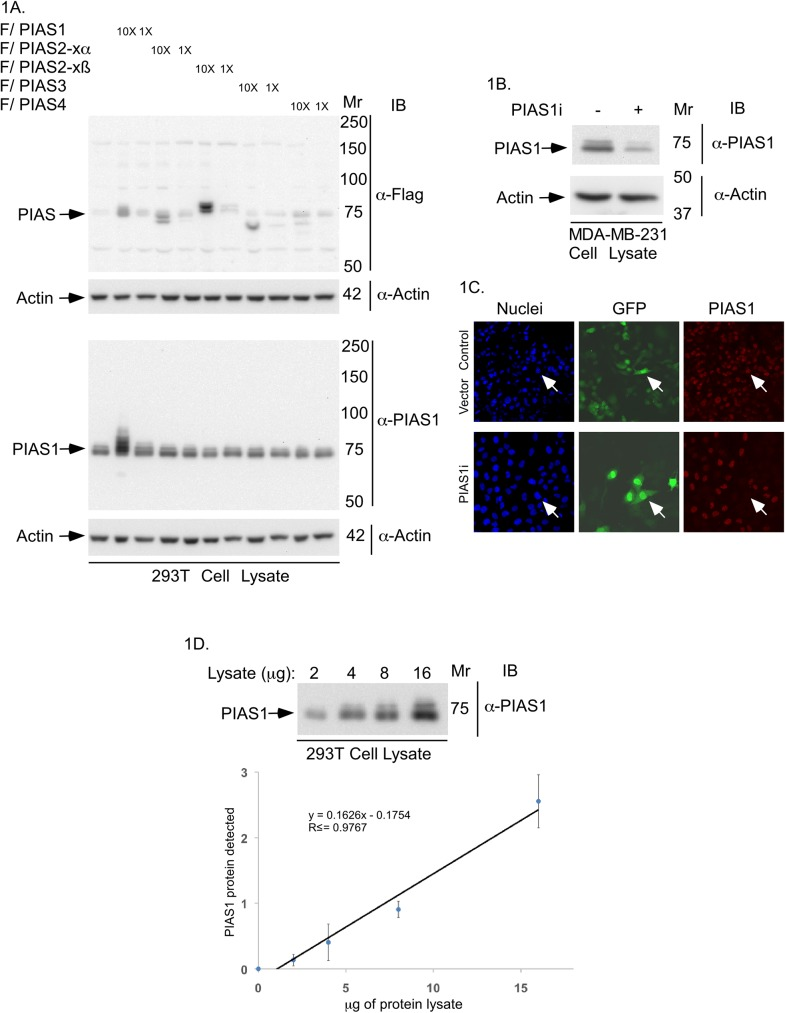 Characterization of the PIAS1 antibody. (A) PIAS1 and actin-immunoblots of lysate of <t>293T</t> cells expressing one of two different concentrations (1X or 10X) of FLAG-tagged PIAS1, PIAS2-xα, PIAS2-xβ, PIAS3 or, PIAS4, or transfected with the vector control. Actin immunoblotting was used as loading control. Only PIAS1 antibody-immunoreactive bands corresponding to endogenous PIAS1 and exogenous FLAG tagged-PIAS1 were detected. Immunoblots are from an experiment that was repeated twice with similar results. (B) PIAS1 or actin immunoblots of lysate of MDA-MB-231 cells transiently transfected with an RNAi vector control or receiving a pool of plasmids expressing short hairpin RNAs against two distinct regions of PIAS1 [ 18 , 19 ]. Control and PIAS1 RNAi plasmids also express CMV-driven green fluorescence protein (GFP). Immunoblots are from an experiment that was repeated twice with similar results. (C) Representative PIAS1 (red), GFP (green) and nuclei (blue) fluorescence microscopy micrographs of MDA-MB-231 cells transfected as in B, and subjected to anti-PIAS1 indirect immunofluorescence and counterstained with Hoechst 33342 fluorescent nucleotide dye to visualize nuclei. GFP signal indicate control vector or PIAS1 RNAi plasmid-transfected cells. Arrow shows an example of each a vector transfected cell (upper row) and a PIAS1 RNAi transfected cell (lower row) to highlight the knockdown of endogenous PIAS1 in PIAS1i-transfected cell. These experiments were repeated two times with similar outcomes. (D) Representative PIAS1 immunoblots of serially-diluted lysate of 293T cells (upper panel), and protein abundance of PIAS1 quantified by densitometry (y-axis) plotted versus the protein amount of lysate (x-axis) (lower panel). The abundance of PIAS1 for each point in the XY graph is the mean ± SEM from three independent experiments including the one shown in upper panel. Regression analysis indicated that the protein abundance of PIAS1 follows a linear relationship with total protein amount in cells lysates.