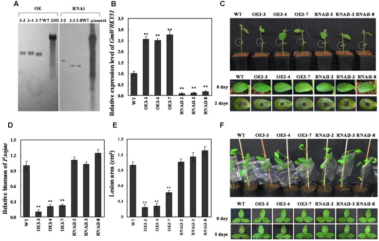 Response of GmWRKY31 transgenic soybean plants to P. sojae . (A) Southern-blot assay of the T2 GmWRKY31 -OE, GmWRKY31 -RNAi and wild-type plants (WT). Twenty micrograms of genomic DNA digested by the restriction enzyme Hind III was hybridized with the probe derived from the bar gene. (B) Quantitative real-time PCR of the T3 GmWRKY31 -overexpression, GmWRKY31 -RNAi transgenic soybean plants and WT. GmEF1b gene (NM_001248778) was used as an internal control to normalize all data. The experiments were performed on three biological replicates with their respective three technical replicates and statistically analyzed using Student's t -test ( ∗ P