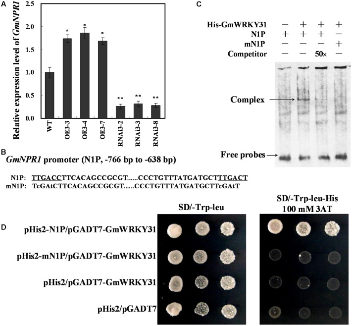 GmWRKY31 positively regulate GmNPR1 expression and bound to the W-box on the –766 to –638 region of the GmNPR1 promoter. (A) Relative expression level of GmNPR1 gene determined by qRT-PCR. GmEF1b gene (NM_001248778) was used as an internal control to normalize all data. The experiment was performed on three biological replicates with their respective three technical replicates and statistically analyzed using Student's t -test ( ∗ P